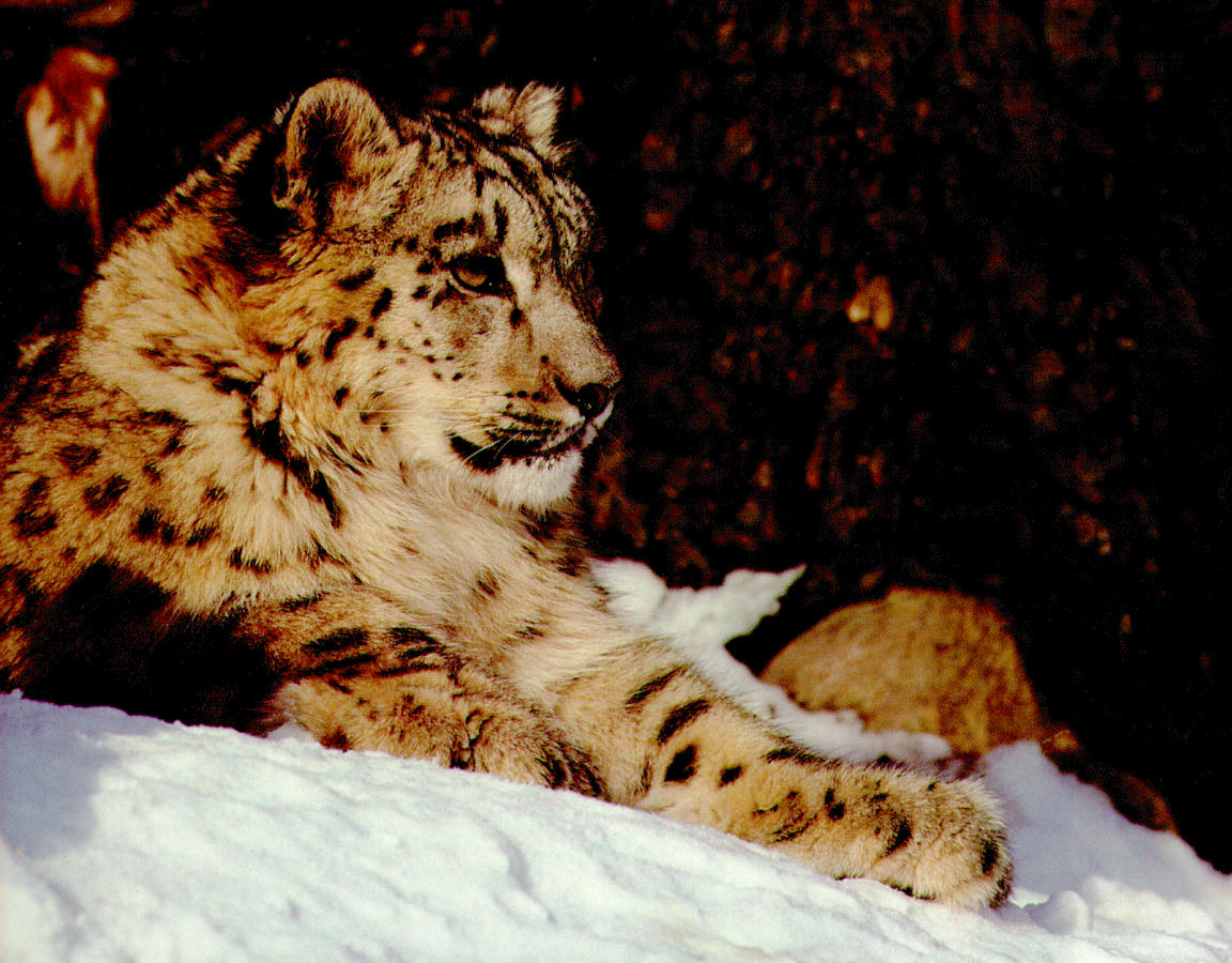 雪豹是猫科动物中最美丽的一种
