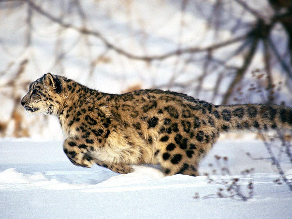 雪豹是猫科动物中最美丽的一种。它的体型大小和外形与豹很相似,但体毛的长度、毛色、花纹,以及尾巴的形状等都与豹不同。体表的被毛特别细软厚密,毛比豹长,背部毛长约5厘米,腹部的毛更长。冬季和夏季体毛的密度和毛色差别并不太大。全身均呈灰白色,略刷一层浅灰与淡青,并且满布了黑色的斑。雪豹的尾巴在比例上更长于豹尾,约与体长相等或为体长的3/4。尾巴不但长,而且尾巴上的毛也长,显得特别蓬松肥大,尾梢也不呈尖细状,走起路来特别显眼。有的个体由于尾巴过于粗大,似乎行动不便,而养成了盘尾的习惯,久而久之竟形成一个卷曲的圆圈